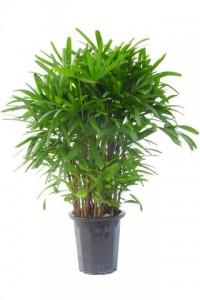 カンノン竹