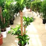 ドラセナマッサンゲアナ・幸福の木